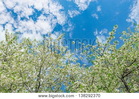 Branches of the apple tree at spring time.