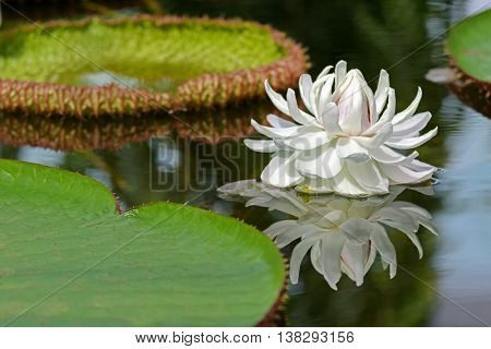 Huge white flower of Giant Waterlily (Victoria amazonica) blossoming in pond, Adelaide, South Australia