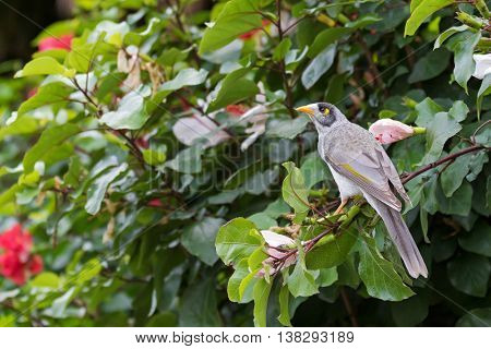 Noisy Miner, honeyeater bird with yellow patch behind eye perching on Hibiscus branch in the garden, South Australia. (Manorina melanocephala)