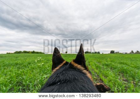 German shepherd dog playing and running. Point Of View.