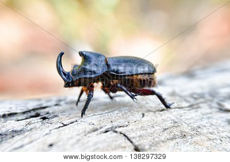 Rhinoceros beetles are a subfamily of the scarab beetle family