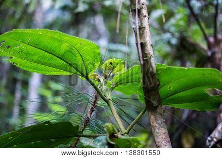 Plant with endemic Giraffe weevil (Trachelophorus giraffa) on it. Madagascar