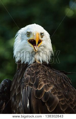 Close-up portrait of a bald eagle looking to the right (lat. haliaeetus leucocephalus)