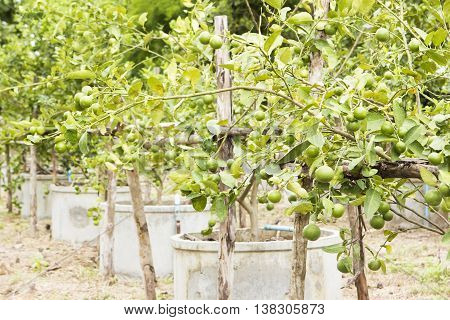 Lime tree farm in round cement tank agriculture.