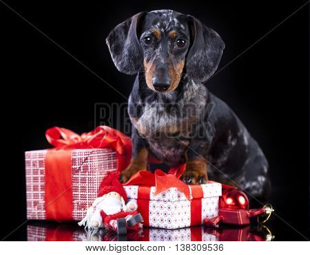 christmas  dachshund dog and gifts boxes with ribbons