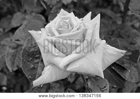Close up of a Beautiful Rose in Black and White