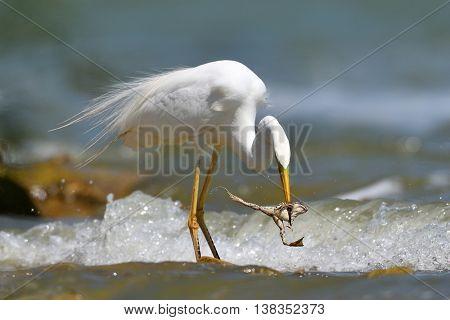 big white egret fishing (ardea alba) poster