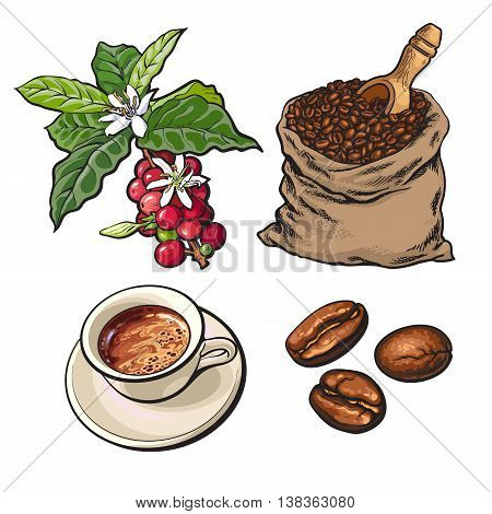 Evolution of coffee from berries to beans and espresso, sketch style vector illustration isolated on white background. Coffee on branch, in sack and ready for drinking
