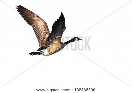 Canada Goose Flying on a White Background