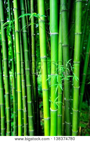 The green bamboo background in the forest