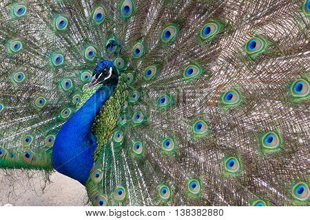 Blue And Green Peacock Shows Off Feathers