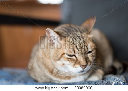 lazy domestic tabby cat sleep on the chair poster