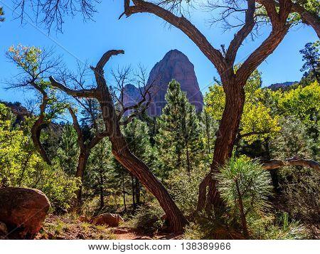 A weird gnarled tree frames a weird cliff at Zion National Park