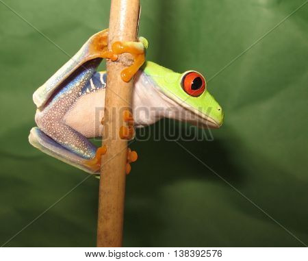 Red eye tree frog climbing on bamboo stick showing white belly and blue sides.