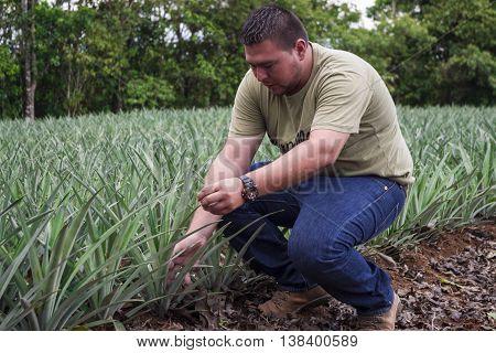 SAN CARLOS, COSTA RICA - June 5: Farmer checks a pineapple plant in his pineapple farm. June 4, 2016 in Alajuela.