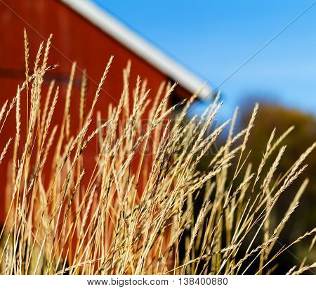 Horizontal vivid Norway rye near house cabin background backdrop