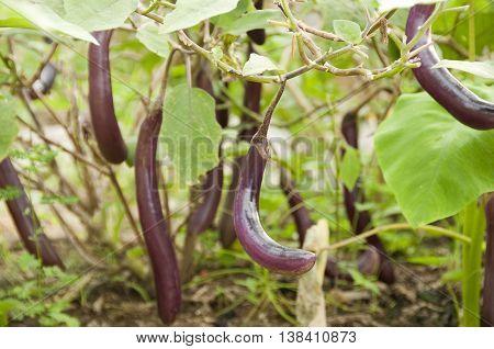 Fresh long purple brinjal (eggplant) on its plant