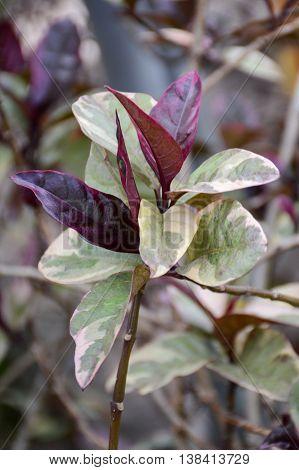 close up Pseuderanthemum atropurpureum plants in nature garden