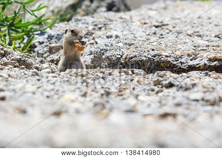 Funny close-up gopher, suslik eating piece of bread