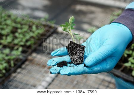 tomato seedling in hand with blue gloves