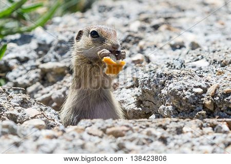 Funny close-up gopher, suslik eating piece of bread, copy space