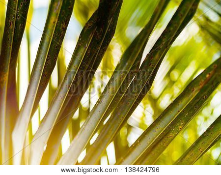 Horizontal Vivid Green Palm Leaf Upclose Detail Bokeh Background