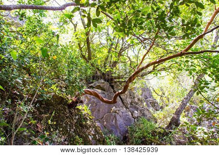 twisted strawberry tree - Arbutus andrachne - grows on the hillside in the north of Israel