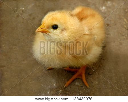Very young chicken hatchling on gray background