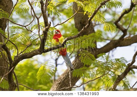 Eastern Rosella bird perching on tree branch during Autumn in South Australia