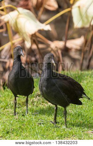 Young Dusky Moorhen birds in black walking on green grass near lotus pond during Autumn in South Australia. (Gallinula tenebrosa)