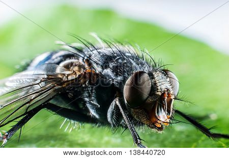 Detail of head of bluebottle fly macro photography