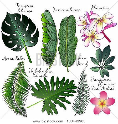 Vector set of palm leaves. Exotic botanical illustration. Engrawed hand drawn vintage illustration. Plumeria banana areca philodendron fern.