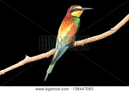 Birdy - rainbow isolated on black, european bee eater, bright color, saturated, European bee-eater isolated