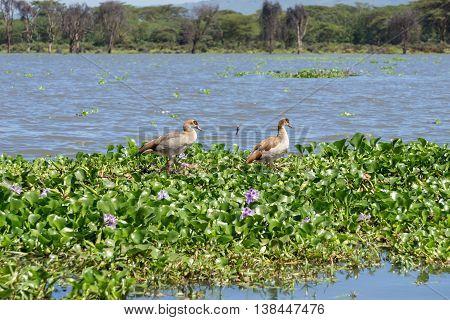 Egyptian Geese On Naivasha Lake.