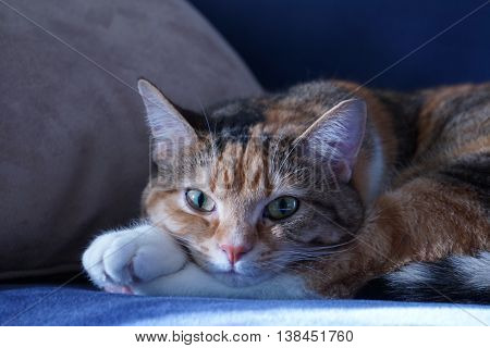 Soft calico cat taking a nap on the sofa.