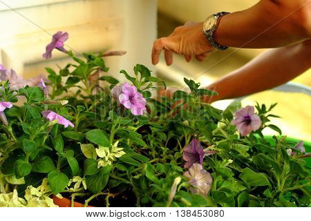 Routine checking and maintainence of garden flowers