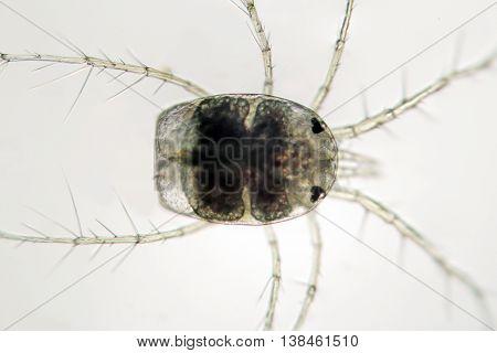 Freshwater zooplankton. Decapoda Water Mite. Hydrachnidae. Macro