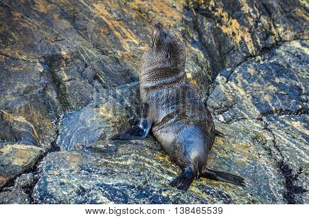 Cute Seal In The Milford Sound, New Zealand
