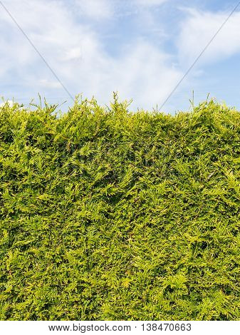 sheared edge of the fragrant green arborvitae shrub with small needle-like leaves softwood against a blue sky with white clouds