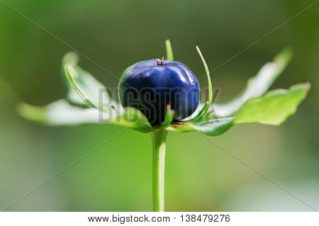 Herb Paris (Paris quadrifolia) berry. Blue-black berry-like capsule and bracts of woodland plant in the family Melanthiaceae