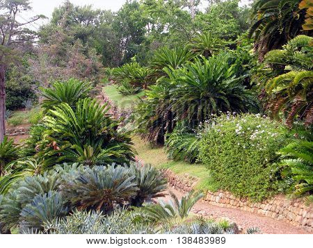 Cycads, Kirstenbosch Botanical Gardens, Cape Town South Africa