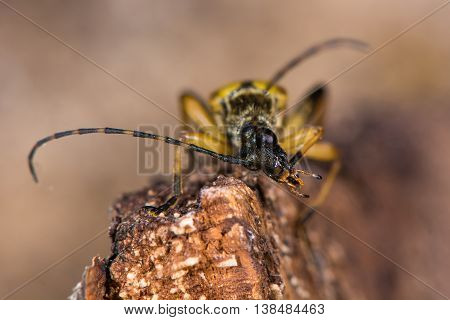 Spotted longhorn beetle (Rutpela maculata) preening. Yellow and black insect in the family Cerambycidae notable for extremely long antennae