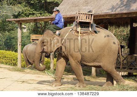 LUANG PRABANG, LAOS - FEBRUARY 12, 2016: Man riding a working elephant on February 12 in Laos, South East Asia