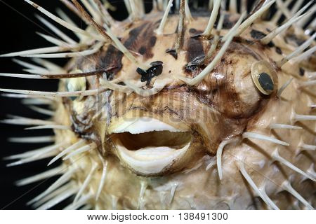Large Puffer Fish on a Black Background