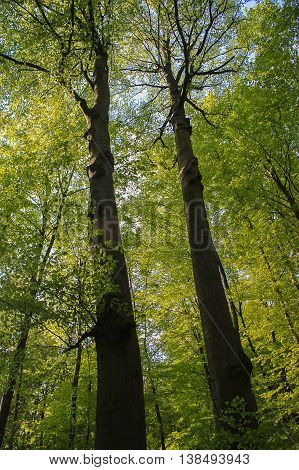 Two high trees in a forest closed to Bad Pyrmont Germany in may.