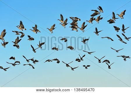 Flock of Canadian Geese in flight with blue sky as background.