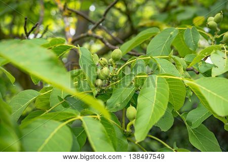The passion fruit tree on a sunny day