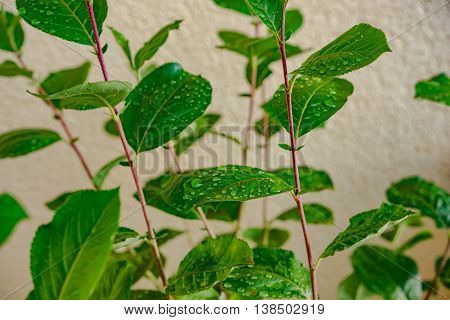fresh green leaves with water droplets in Germany