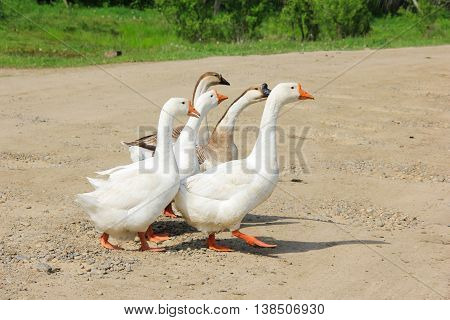 Several geese cross the road . . .