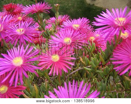 Mesem o Margarita de Livingstone Messembrianthemum. Copiosas y sedosas flores fucciasl.  Florece en primavera.